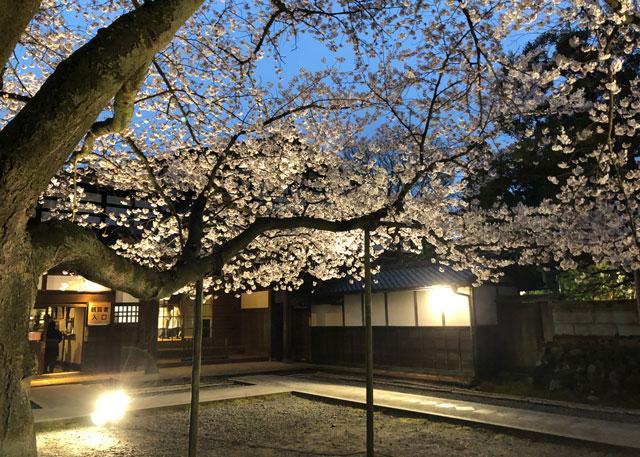 国登録有形文化財、富山県民会館分館「豪農の館 内山邸」 の桜ソメイヨシノのライトアップ