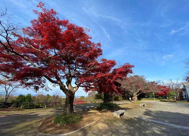 富山市呉羽山の紅葉、穴場紅葉スポットの「桜の広場展望台」の木々