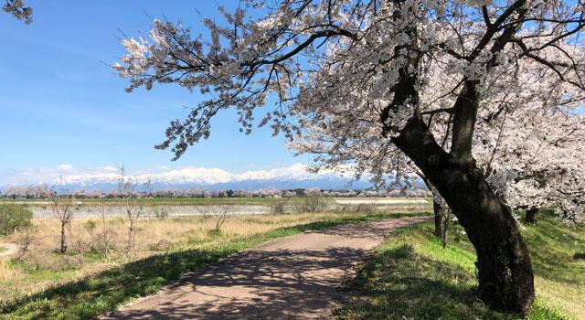 富山市の神通川さくら堤(八尾)の桜並木