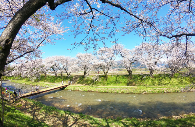 あさひ舟川「春の四重奏」の桜並木と舟川