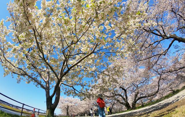 あさひ舟川「春の四重奏」の満開の桜