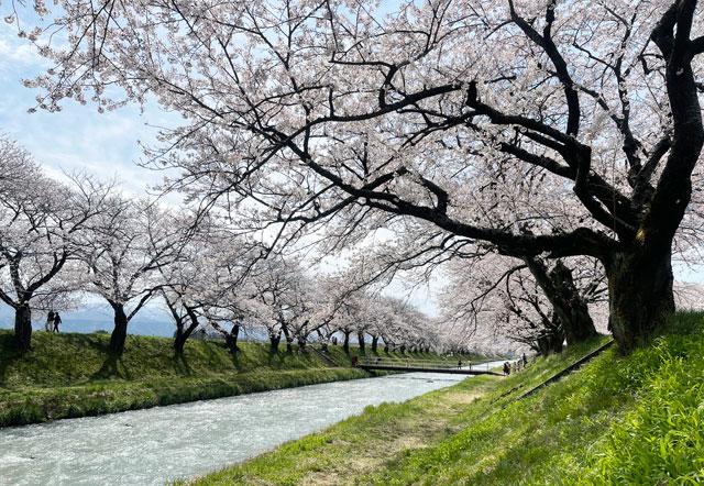 あさひ舟川「春の四重奏」の舟川の絶景