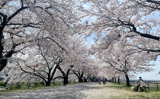 あさひ舟川「春の四重奏」の桜並木