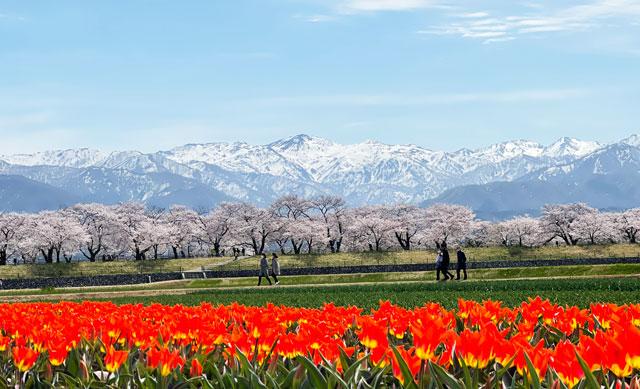 あさひ舟川「春の四重奏」の鮮やかなチューリップと桜と残雪の山