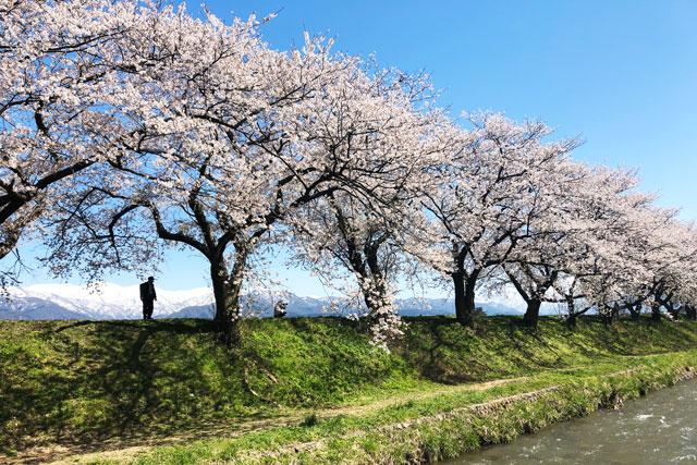 あさひ舟川「春の四重奏」の桜並木と残雪の残る山