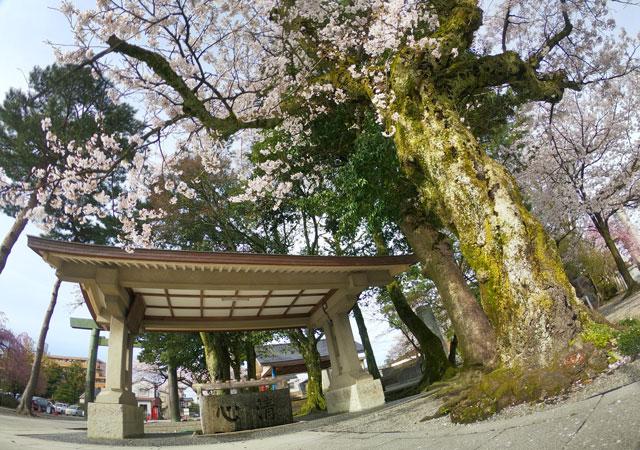 富山県護国神社の手水前の桜