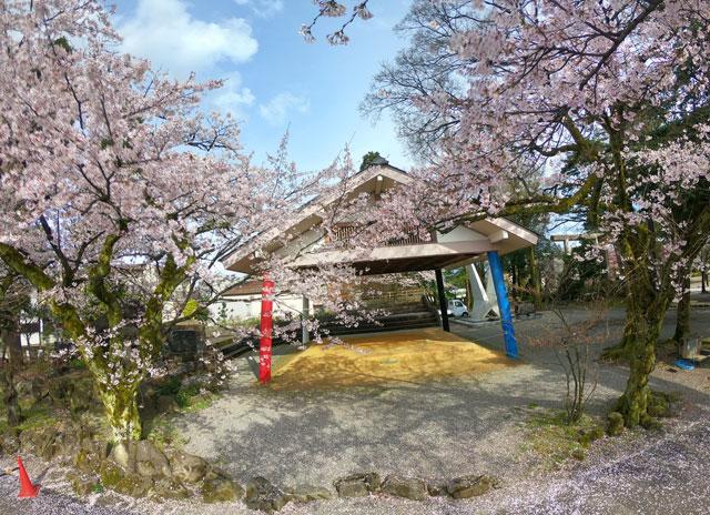 富山県護国神社の土俵前の桜