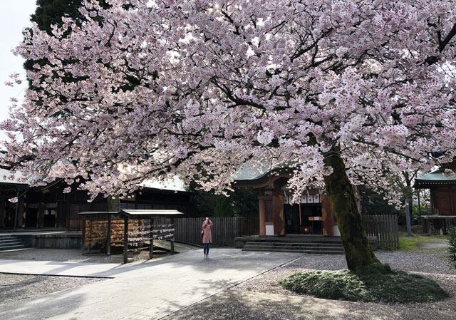 富山県護国神社の社務所前の大きな桜