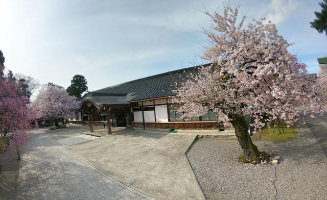 富山県護国神社の社務所前の桜