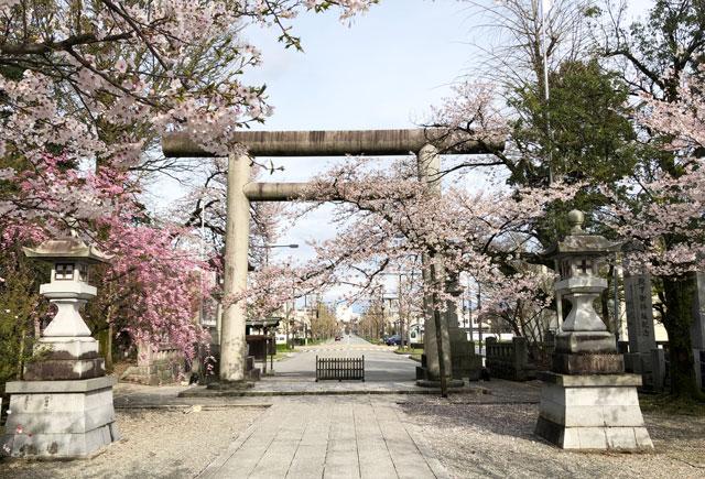 富山県護国神社の正面入口の桜