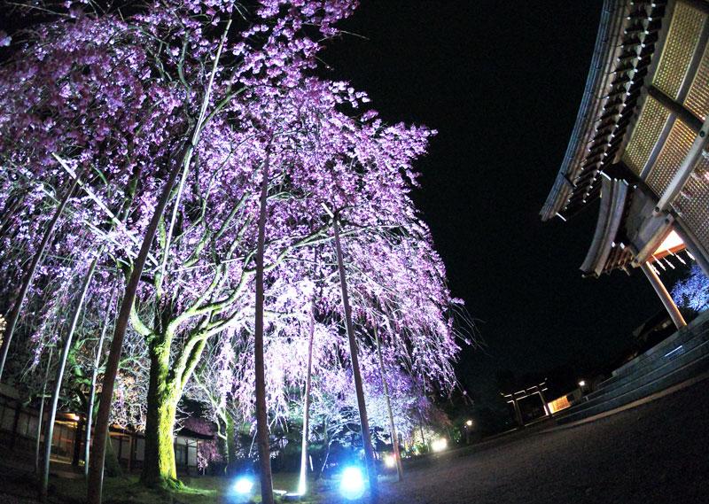富山県護国神社のシダレザクラの夜桜