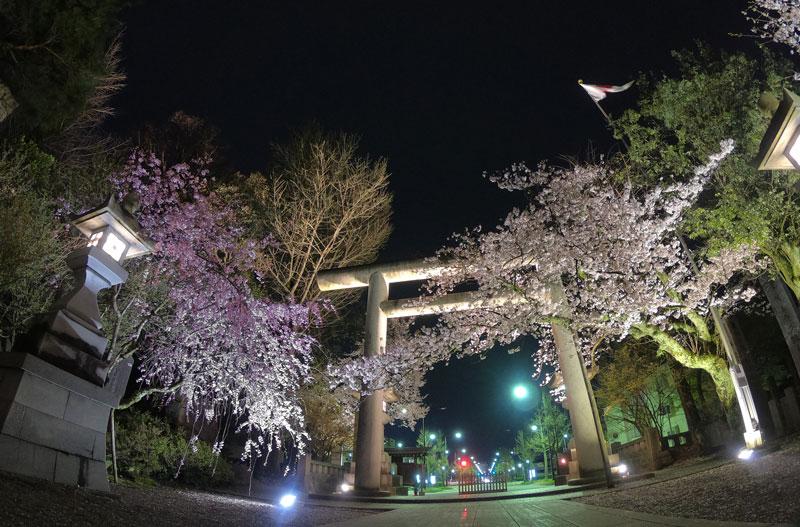 富山県護国神社の正面の鳥居と夜桜