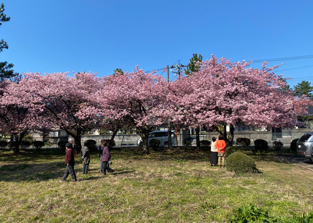 富山一早く咲く、海岸通「三菱レイヨン敷地内」の河津桜の観光客