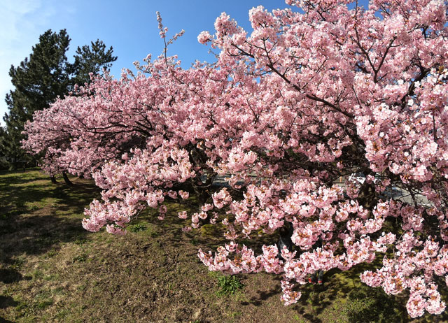 富山一早く咲く、海岸通「三菱レイヨン敷地内」の河津桜(見下ろし)