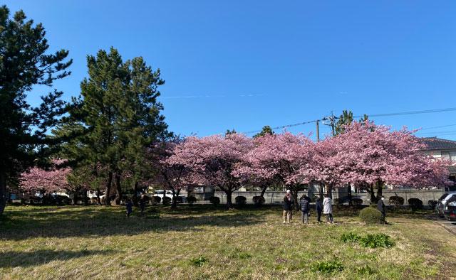 富山一早く咲く、海岸通「三菱レイヨン敷地内」の河津桜の全体写真