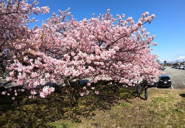富山一早く咲く、海岸通「三菱レイヨン敷地内」の河津桜(見下ろし)と立山連峰