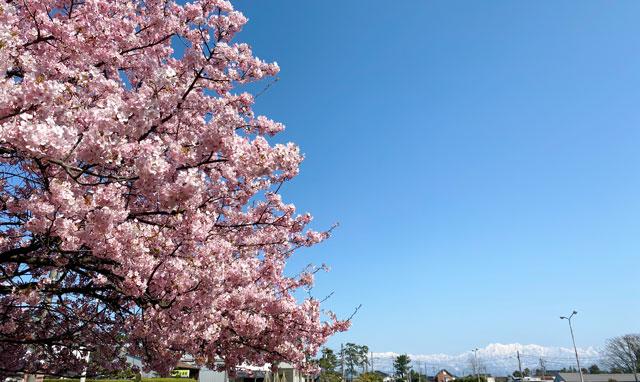 富山一早く咲く、海岸通「三菱レイヨン敷地内」の河津桜と立山連峰