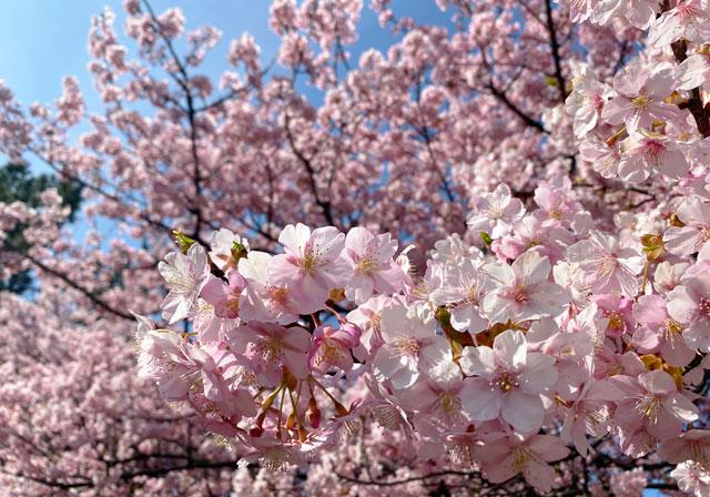 富山一早く咲く、海岸通「三菱レイヨン敷地内」の河津桜のアップ