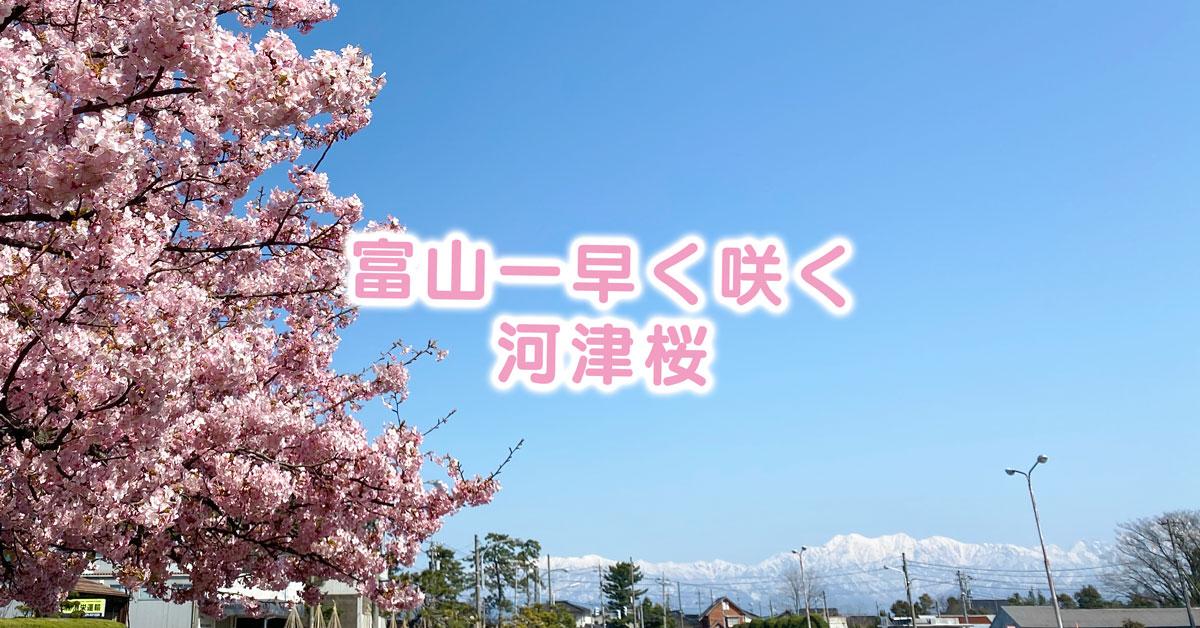 【富山の河津桜】日本一早く咲く富山市海岸通の三菱レイヨンの河津桜!立山連峰と桜が春を告げる☆