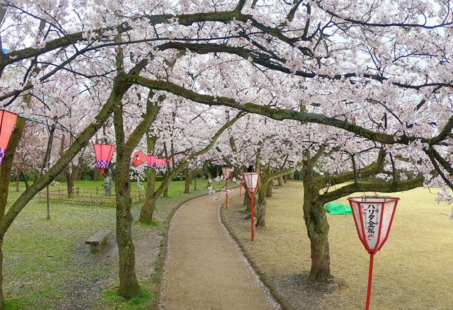 高岡古城公園の桜並木と散った桜
