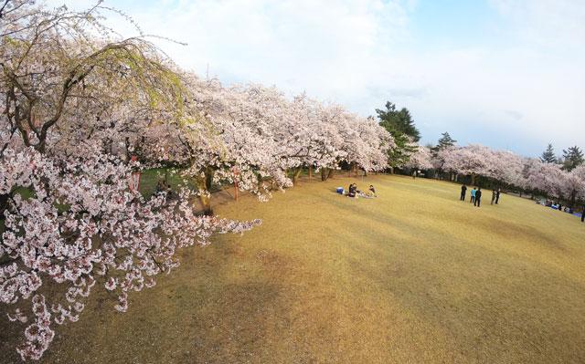 高岡古城公園の芝生広場と桜