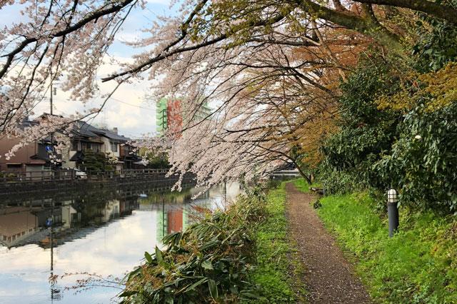 高岡古城公園のお堀周辺の桜のトンネル
