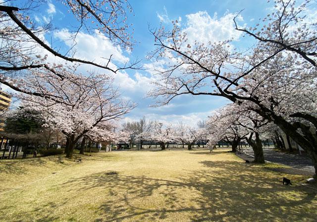 富山さくらの名所70選、富山県富山市五福公園の桜広場