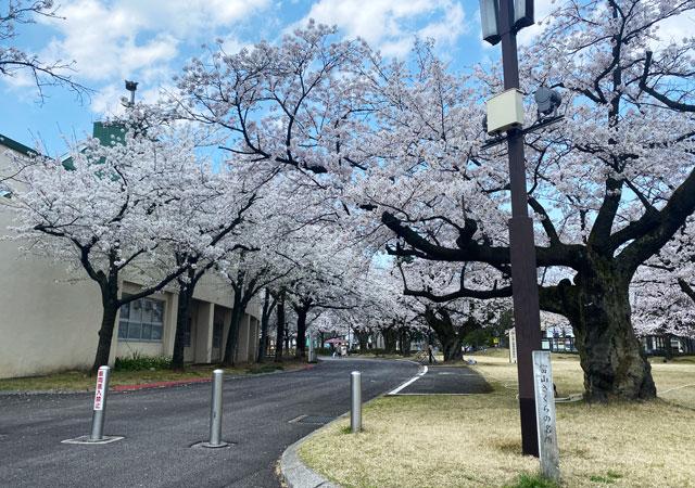 富山さくらの名所70選、富山県富山市五福公園の桜