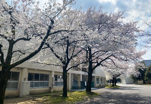 富山さくらの名所70選、富山県富山市五福公園の県営富山野球場1塁入口前の桜