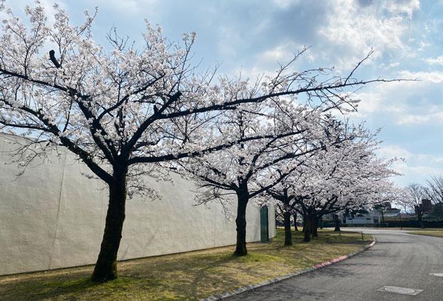 富山さくらの名所70選、富山県富山市五福公園の県営富山野球場前の桜