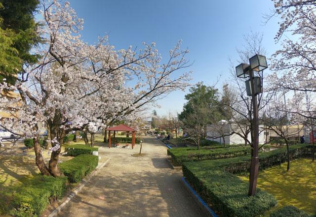 富山さくらの名所70選、富山県富山市五福公園のプロムナードの桜