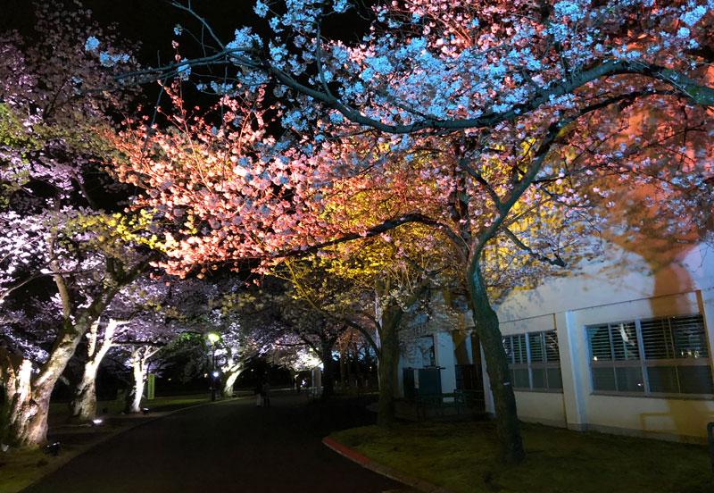 富山さくらの名所70選、富山県富山市五福公園のカラフルな夜桜ライトアップ