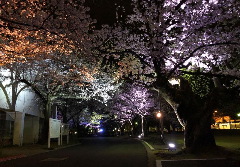 富山さくらの名所70選、富山県富山市五福公園の夜桜ライトアップ
