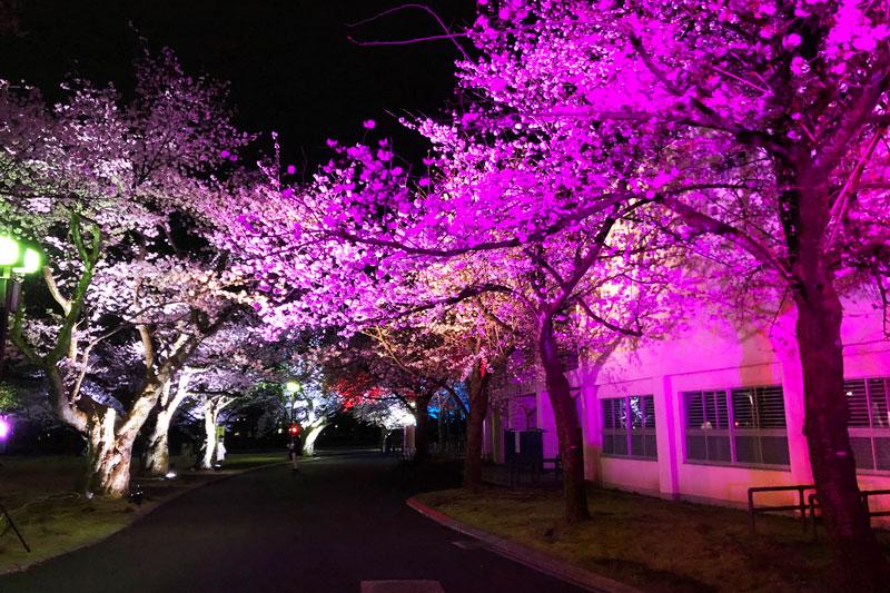 富山さくらの名所70選、富山県富山市五福公園の県営富山野球場3塁入口前の夜桜