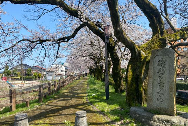 松川べり磯部堤の桜と石碑