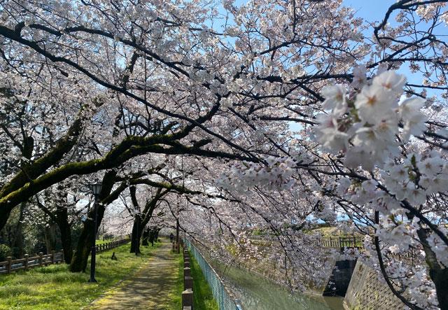 松川べり磯部堤のしだれている桜