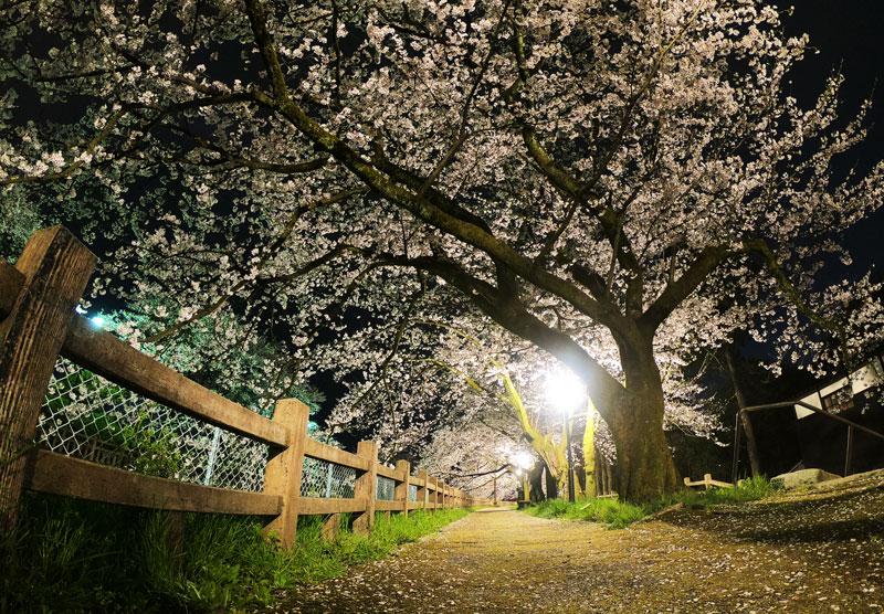 松川べり磯部堤の夜桜