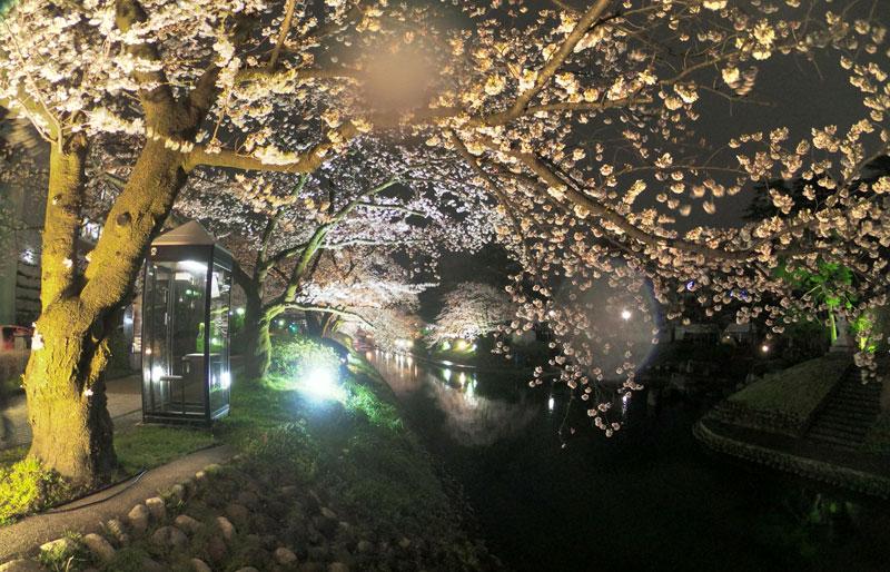 富山市の松川べりの夜桜ライトアップと電話ボックス
