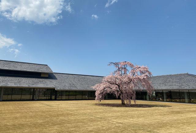 富山市五福の富山県水墨美術館のベニシダレザクラ(中距離)