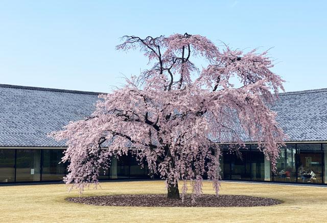 富山市五福の富山県水墨美術館のベニシダレザクラ