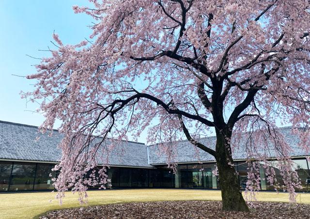 富山市五福の富山県水墨美術館のベニシダレザクラ(近距離)