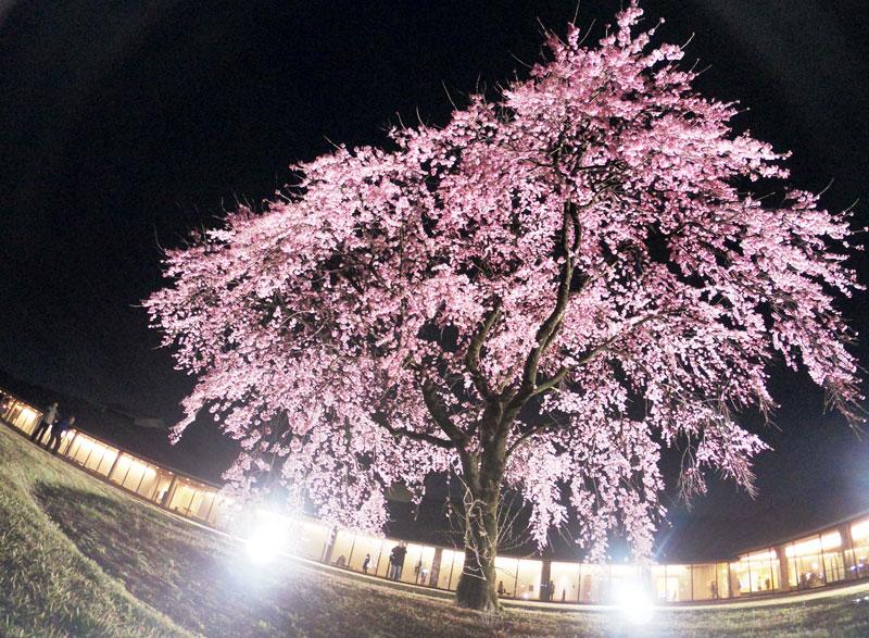 富山市五福の富山県水墨美術館のベニシダレザクラの夜桜ライトアップ(見上げる)