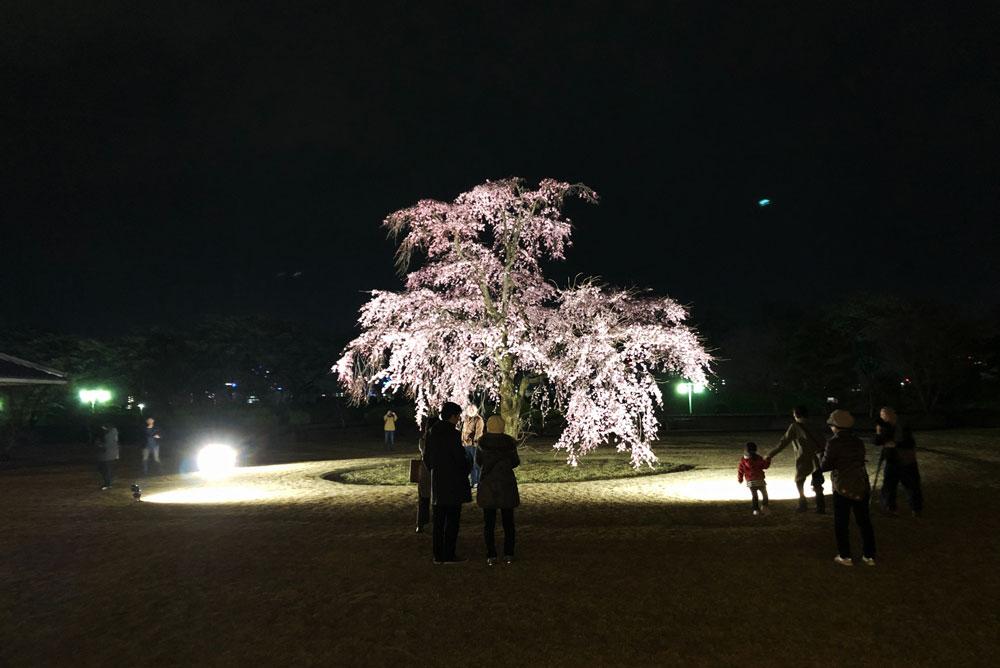富山市五福の富山県水墨美術館のベニシダレザクラの夜桜ライトアップ