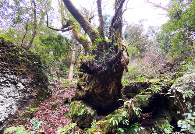 富山県上市町の景勝地 千巌渓の巨木