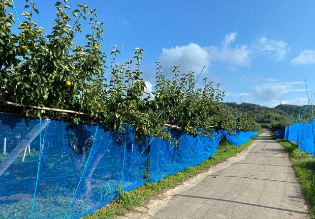 富山県の特産品「呉羽梨」の梨畑