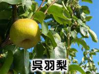 【呉羽梨まとめ】品種と旬のシーズン、買い方から歴史まで全て分かる!