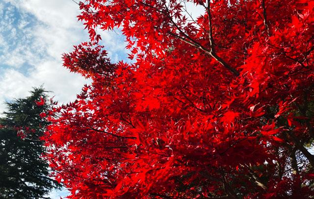 富山市旧大沢野の新緑と紅葉の名所「寺家公園」の真っ赤な紅葉