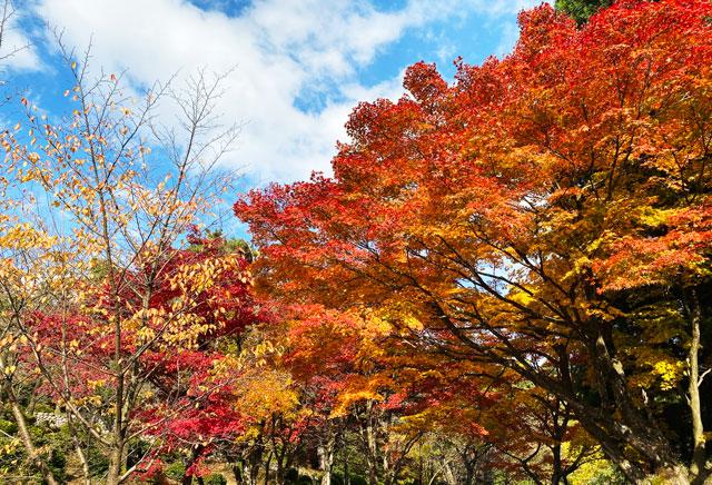 富山市旧大沢野の新緑と紅葉の名所「寺家公園」の紅葉のグラデーション