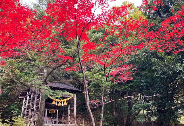 富山市旧大沢野の新緑と紅葉の名所「寺家公園」のアカガシ叢林近くの紅葉