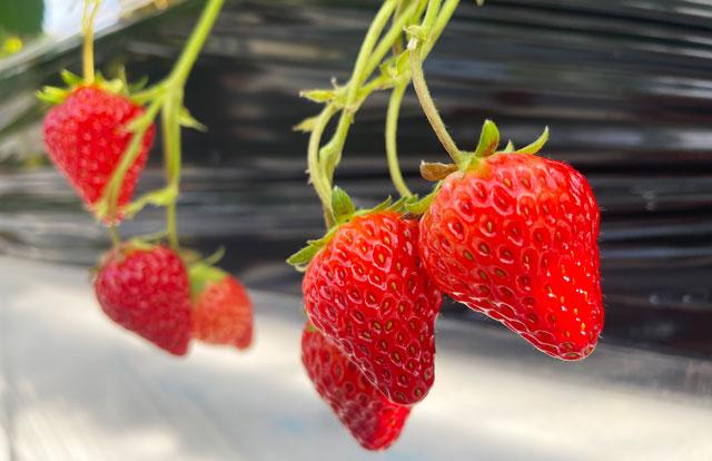 富山市のまちなかで苺狩りができる「徳徳ハウス」の苺